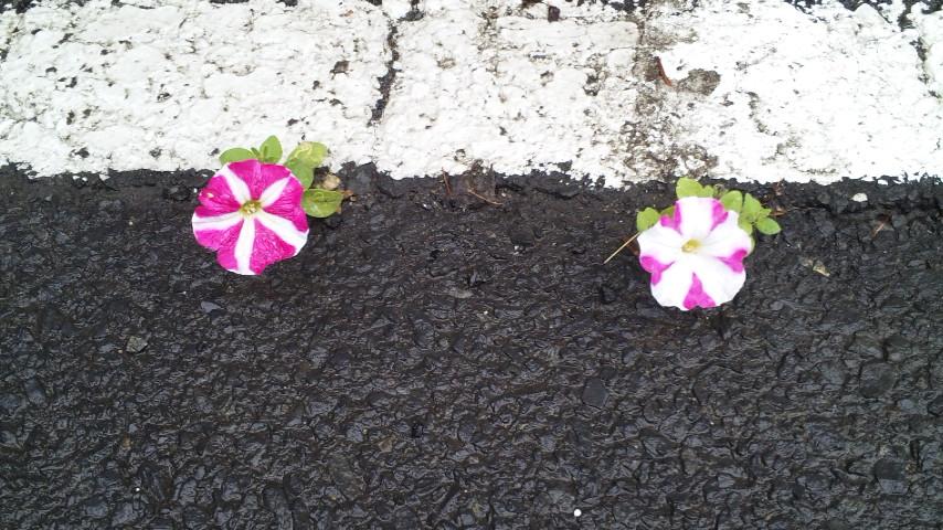 うちの駐車場にて可愛い花が咲きやがった。